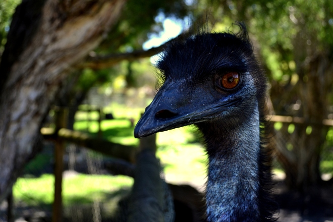First visit to Caversham Wildlife Park - amazing place to encounter Australian wildlife up-close (photo by Heather Pye)